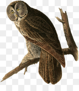 cafepress great gray owl everyday pillow clipart Great grey owl The Birds of America