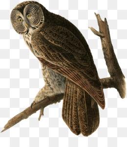 咖啡馆里的大灰猫头鹰每天枕头剪辑大灰猫头鹰美洲鸟