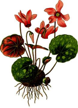 艺术印刷:视觉工作室的自然收获61x46cm。常春藤蔓仙客来种子