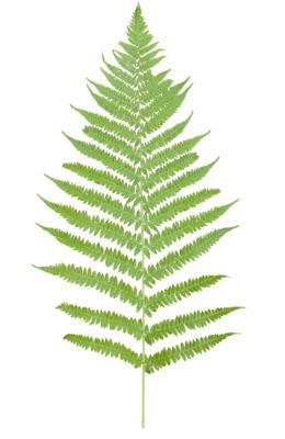 热带蕨类植物