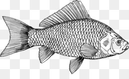 Free Download Tilapia Drawing Fish Products Perch Barramundi 28day