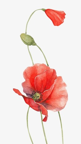Download poppy flower drawing clipart line drawings poppy watercolor download poppy flower drawing clipart line drawings poppy watercolor painting flower red plant poppy peach clipart free download mightylinksfo