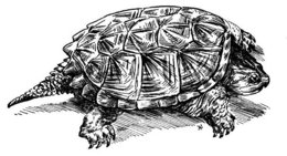 download snapping turtle tribal drawing clipart box turtles common