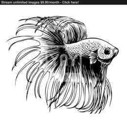 download ryba bojovnica omalovanka clipart siamese fighting fish