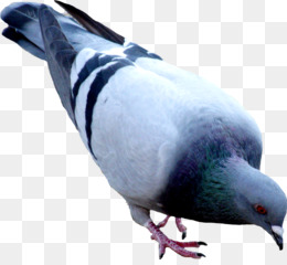 common wood pigeon clipart about 7 free commercial noncommercial