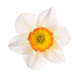 narcissus clipart about 453 free commercial noncommercial