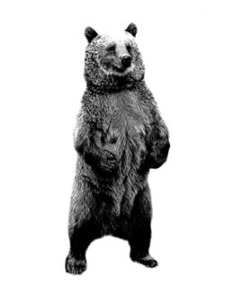 download bear standing up drawing clipart american black bear