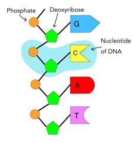 dna nucleotide ba self reliance - 871×917